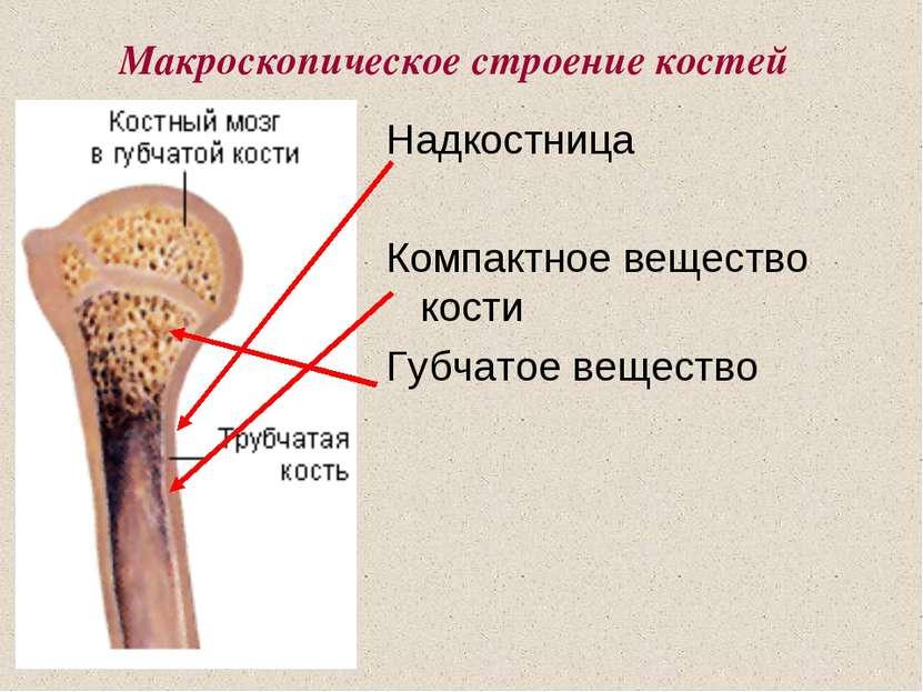 Макроскопическое строение костей Надкостница Компактное вещество кости Губчат...