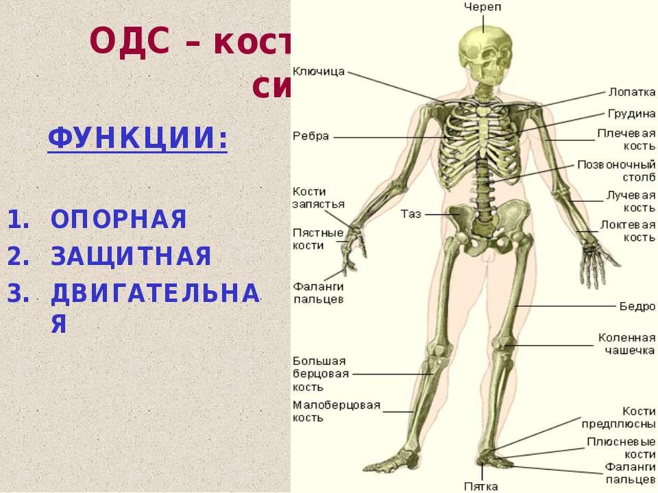 ОДС – костно-мышечная система ФУНКЦИИ: ОПОРНАЯ ЗАЩИТНАЯ ДВИГАТЕЛЬНАЯ