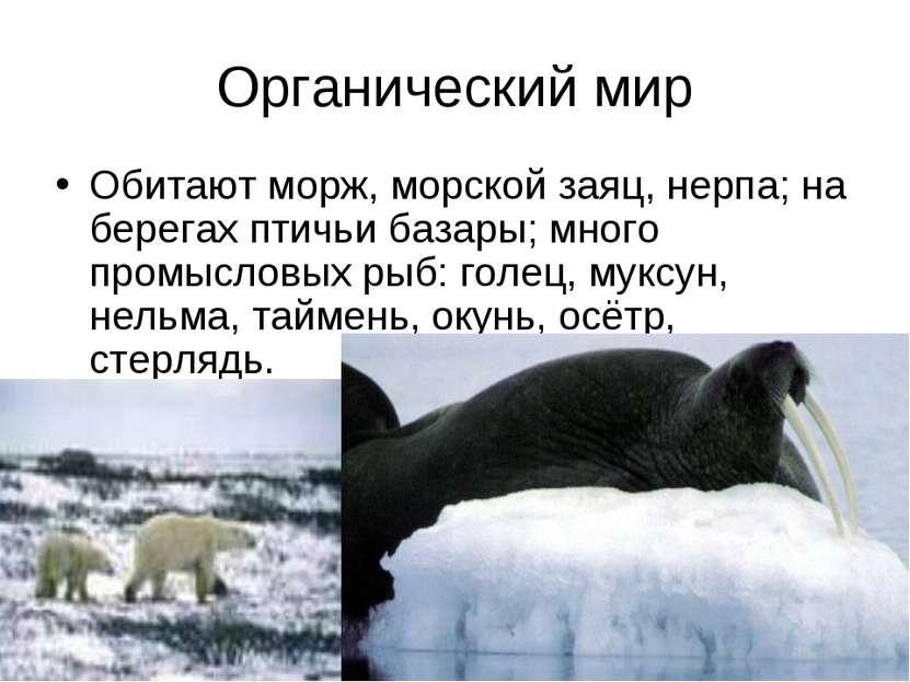 Органический мир Обитают морж, морской заяц, нерпа; на берегах птичьи базары;...