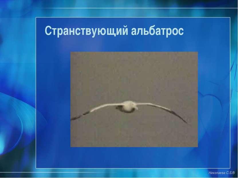 Странствующий альбатрос Николаева С.Б.®