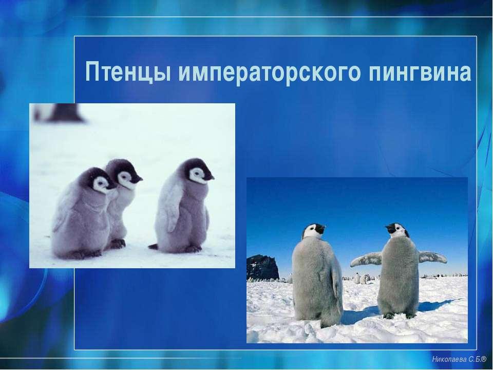 Птенцы императорского пингвина Николаева С.Б.®