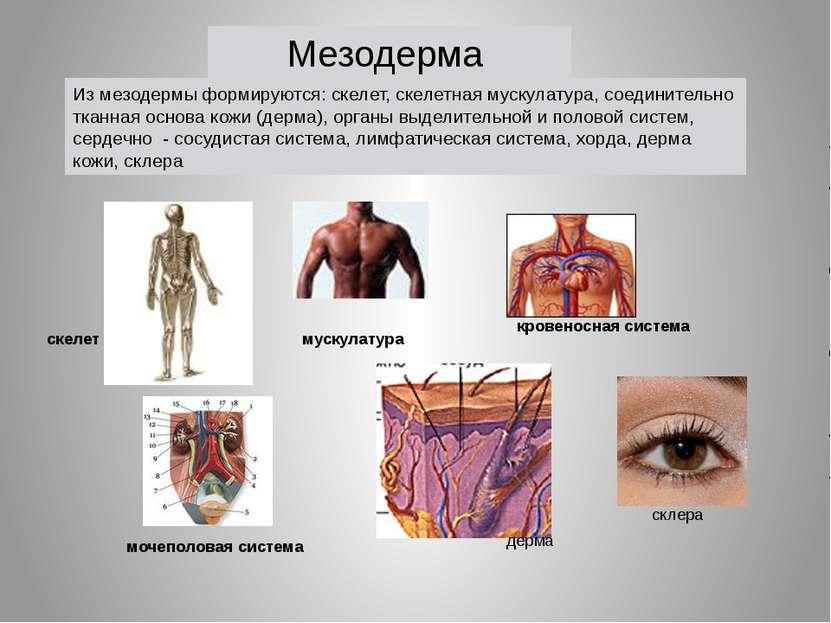 мускулатура кровеносная система скелет мочеполовая система Из мезодермы форми...