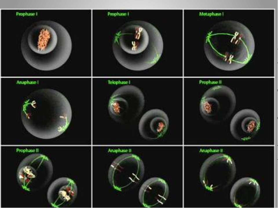 После детерминации клеток, т. е. после окончательного формирования эпигенома,...
