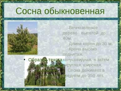 Сосна обыкновенная Вечнозеленое дерево высотой до 40м. Длинакорня...