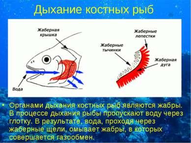 Дыхание костных рыб Органами дыхания костных рыб являются жабры. В процессе д...