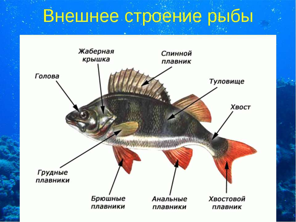 Внешнее строение рыбы
