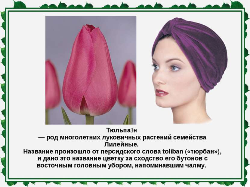 Тюльпа н — род многолетних луковичных растений семейства Лилейные. Название п...