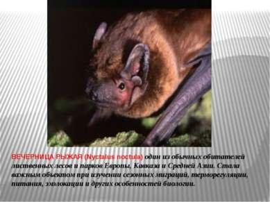 ВЕЧЕРНИЦА РЫЖАЯ (Nyctalus noctula) один из обычных обитателей лиственных лесо...