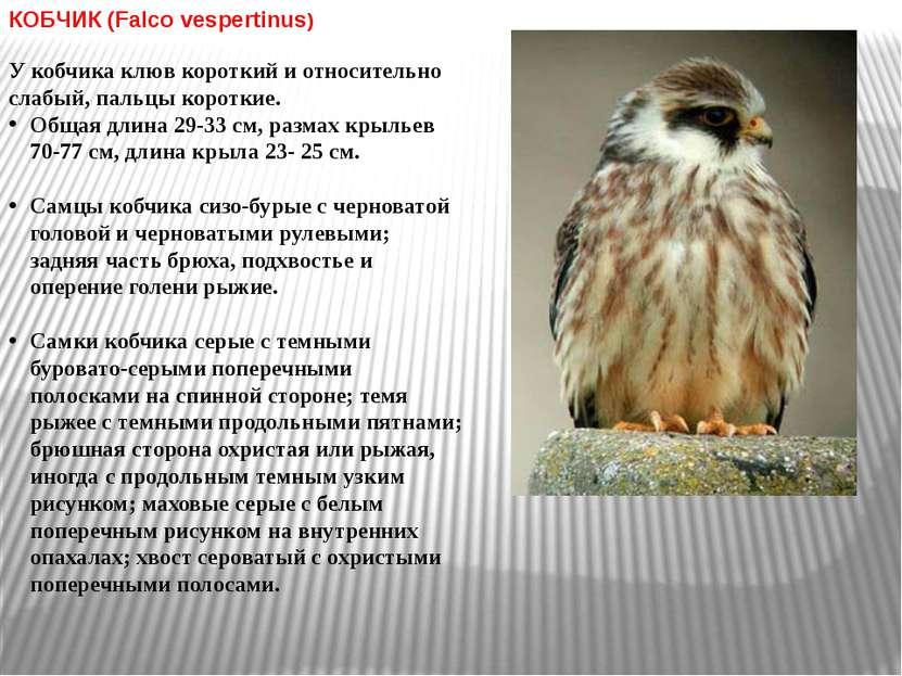 КОБЧИК (Falco vespertinus) У кобчика клюв короткий и относительно слабый, пал...