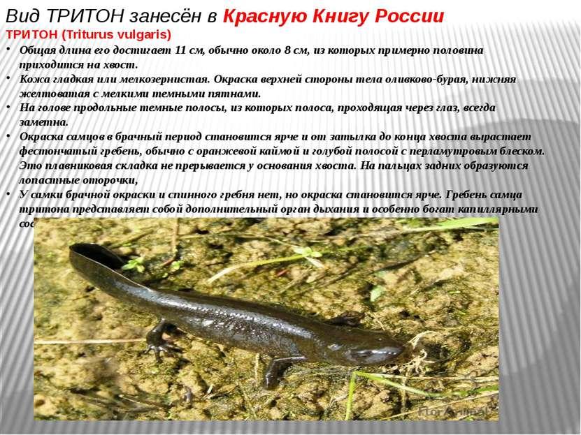 Вид ТРИТОН занесён в Красную Книгу России ТРИТОН (Triturus vulgaris) Общая дл...