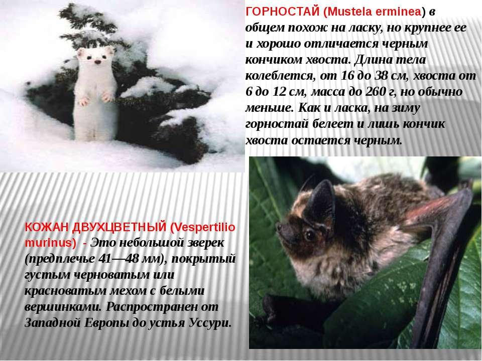 ГОРНОСТАЙ (Mustela erminea) в общем похож на ласку, но крупнее ее и хорошо от...