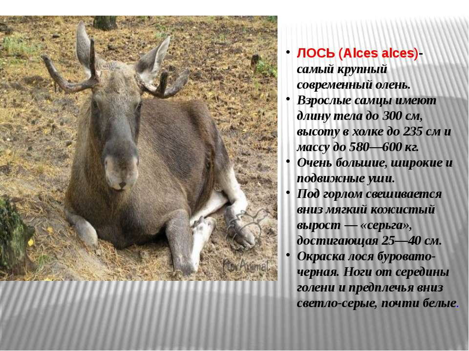 ЛОСЬ (Alces alces)- самый крупный современный олень. Взрослые самцы имеют дли...