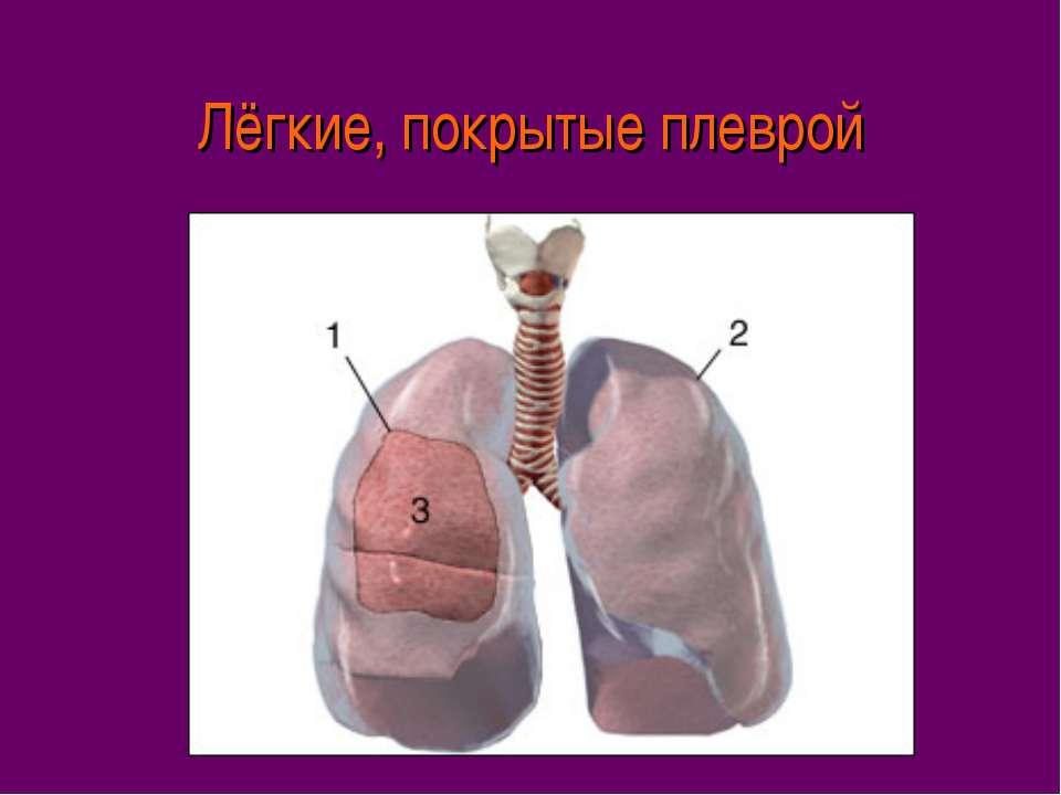 Лёгкие, покрытые плеврой