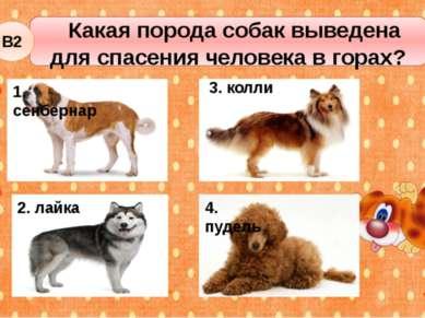 Какая порода собак выведена для спасения человека в горах? В2 2. лайка 3. кол...