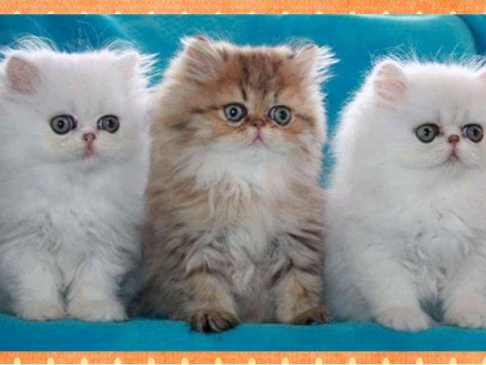 Какая порода относится к кошкам? А2 1. такса 2. колли 3. персидская 4. пудель