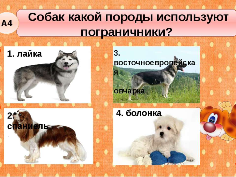 Собак какой породы используют пограничники? А4 1. лайка 2. спаниель 4. болонк...