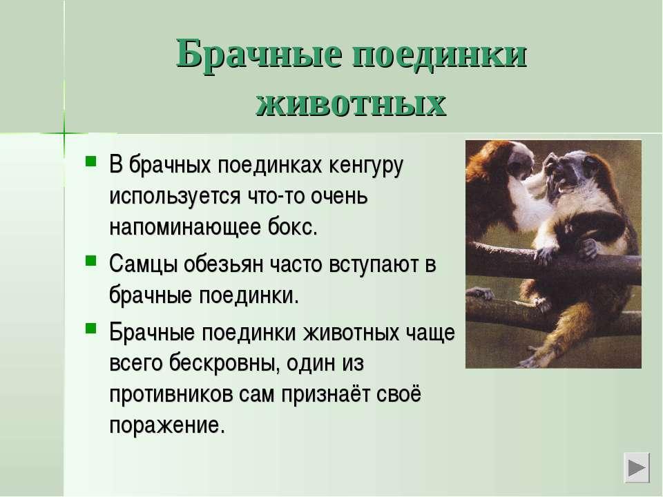 Брачные поединки животных В брачных поединках кенгуру используется что-то оче...