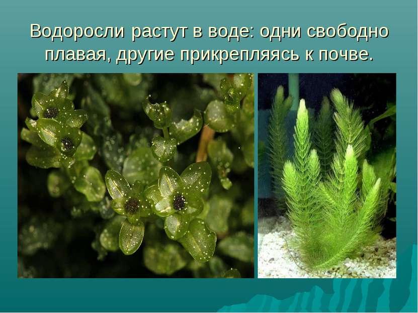 Водорослирастут в воде: одни свободно плавая, другие прикрепляясь к почве.