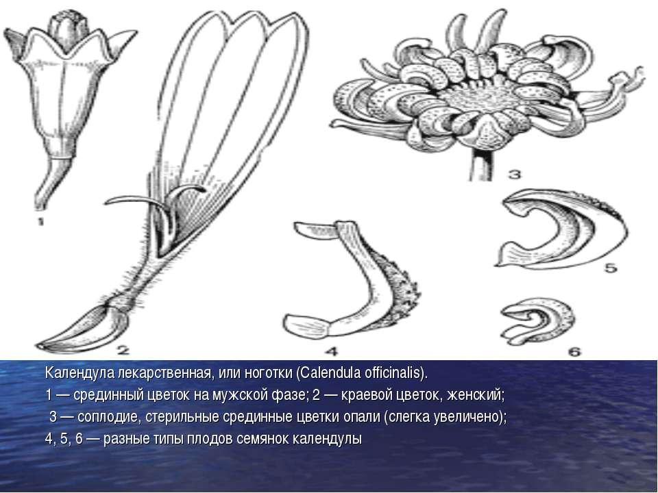Календула лекарственная, или ноготки (Calendula officinalis). 1 — срединный ц...