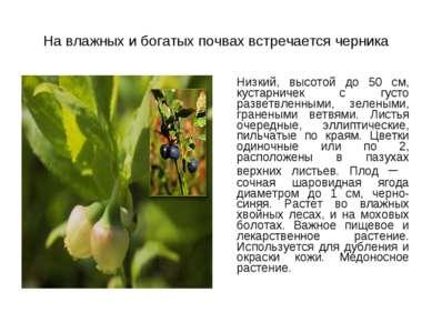 На влажных и богатых почвах встречается черника Низкий, высотой до 50 см, кус...