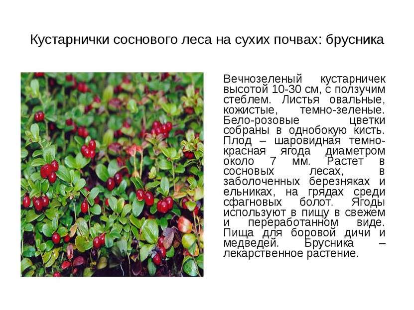 Кустарнички соснового леса на сухих почвах: брусника Вечнозеленый кустарничек...