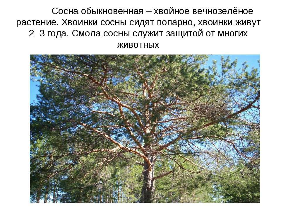 Сосна обыкновенная – хвойное вечнозелёное растение. Хвоинки сосны сидят попар...