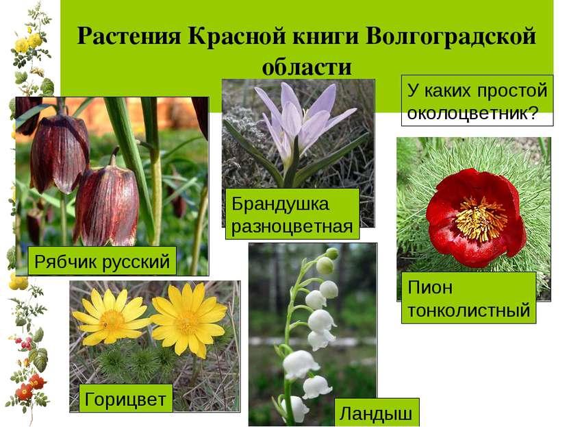 Растения Красной книги Волгоградской области У каких простой околоцветник?