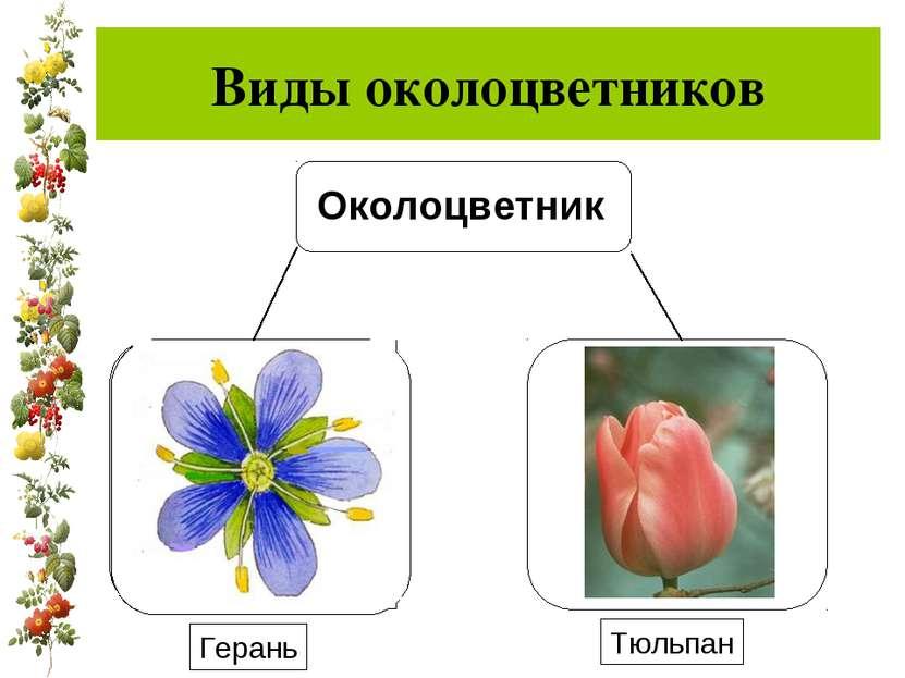 Виды околоцветников Герань Тюльпан