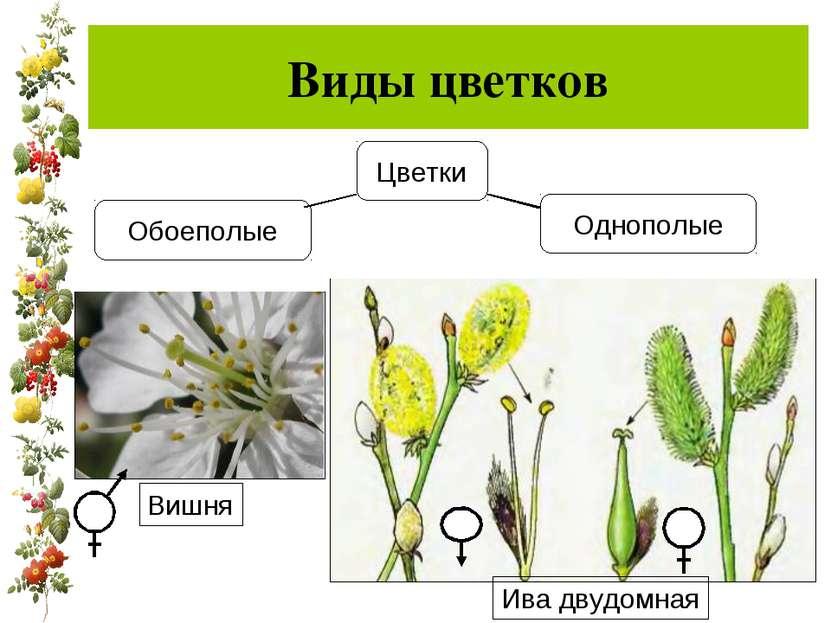 Виды цветков Однополые Ива двудомная Вишня