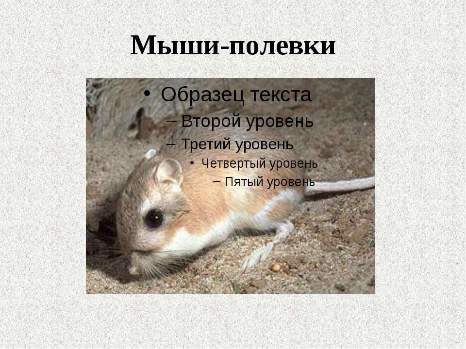 Мыши-полевки