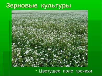 Зерновые культуры Цветущее поле гречихи