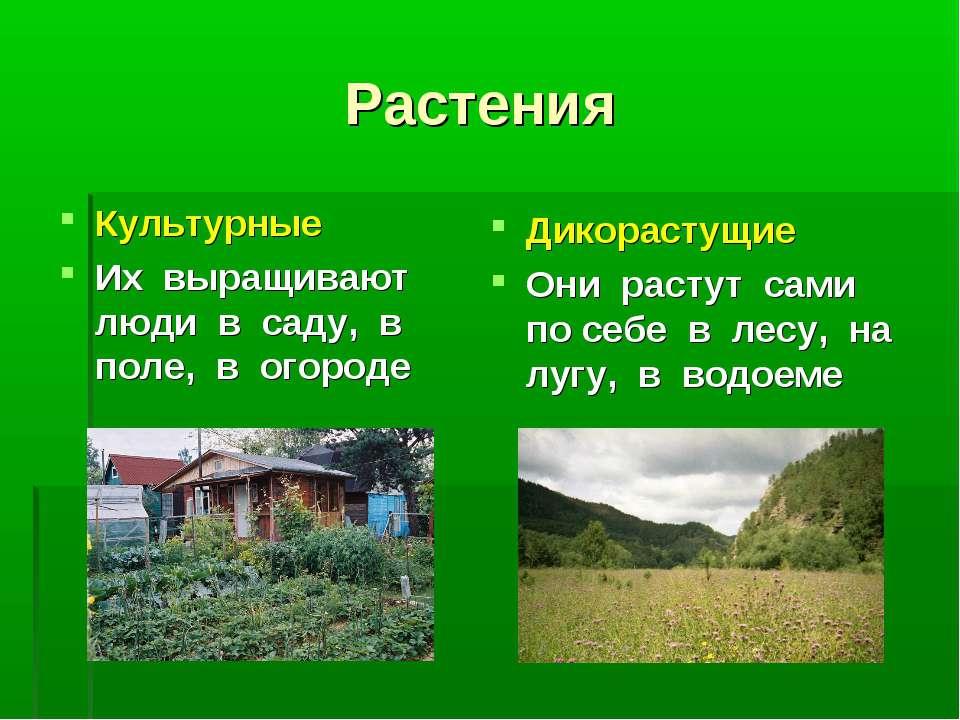 Растения Культурные Их выращивают люди в саду, в поле, в огороде Дикорастущие...