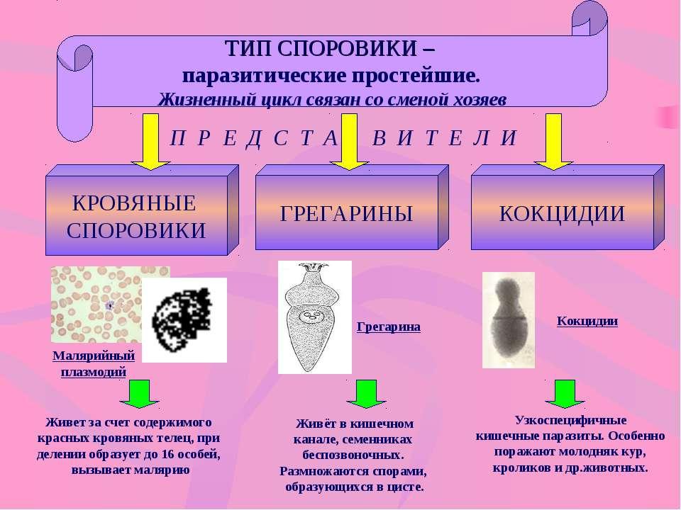 ТИП СПОРОВИКИ – паразитические простейшие. Жизненный цикл связан со сменой хо...
