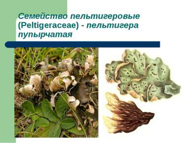 Семейство пельтигеровые (Peltigeraceae) - пельтигера пупырчатая