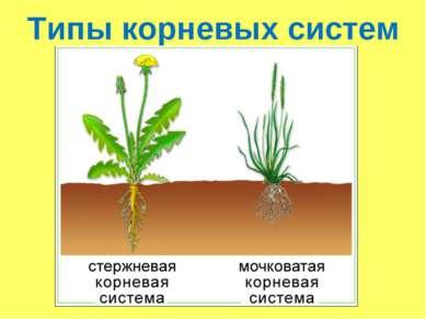 Типы корневых систем