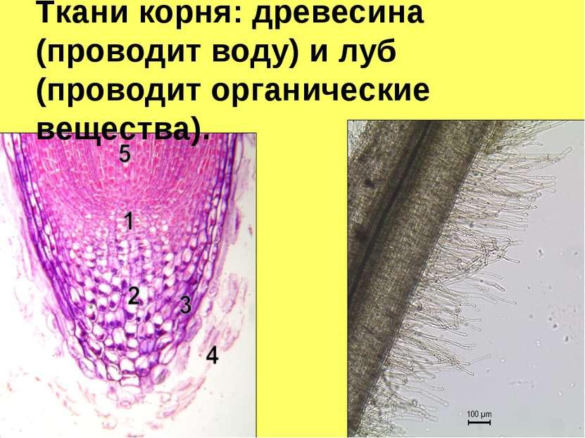 Ткани корня: древесина (проводит воду) и луб (проводит органические вещества).