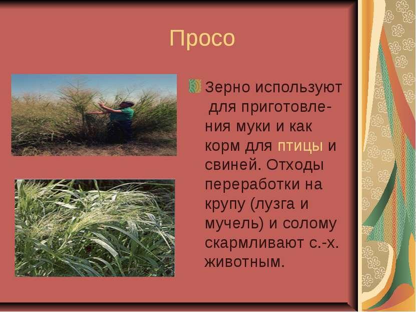 Просо Зерно используют для приготовле-ния муки и как корм для птицы и свиней....
