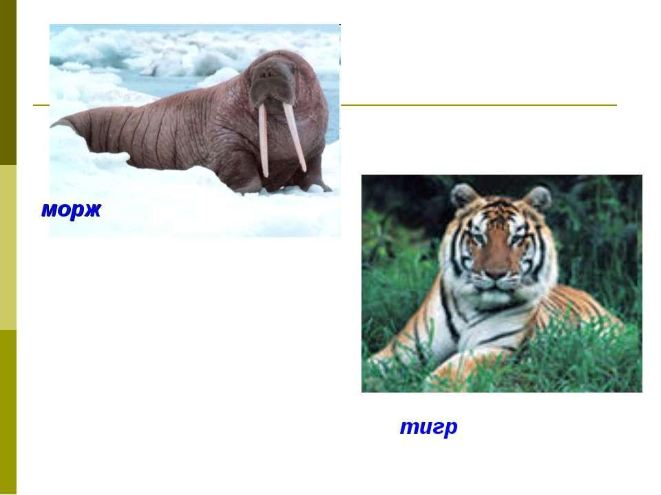 морж тигр