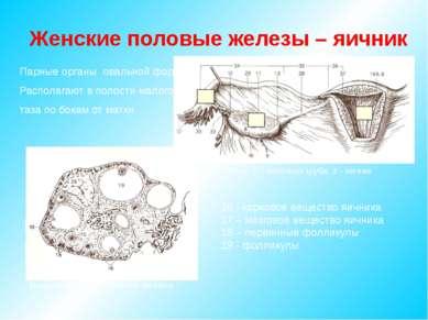 Парные органы овальной формы Располагают в полости малого таза по бокам от ма...