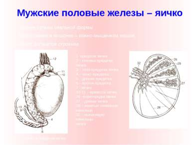 Парные органы овальной формы Расположено в мошонке – кожно-мышечном мешке, им...