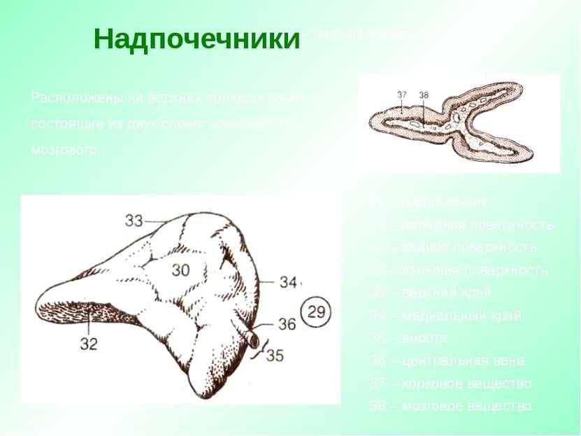 Расположены на верхних полюсах почек и состоящие из двух слоев: коркового и м...