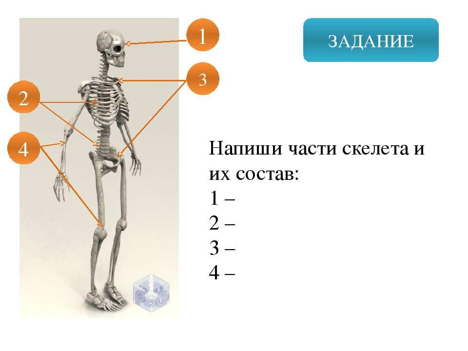 ЗАДАНИЕ Напиши части скелета и их состав: 1 – 2 – 3 – 4 – 1 3 2 4