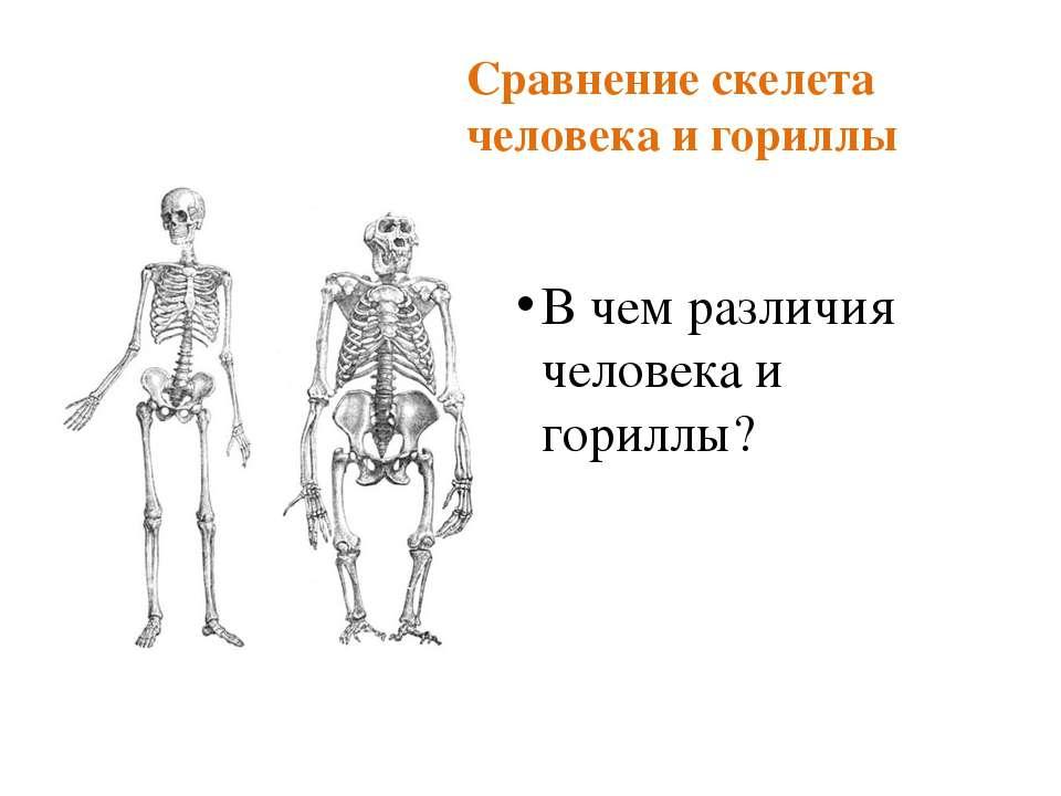 Сравнение скелета человека и гориллы В чем различия человека и гориллы?