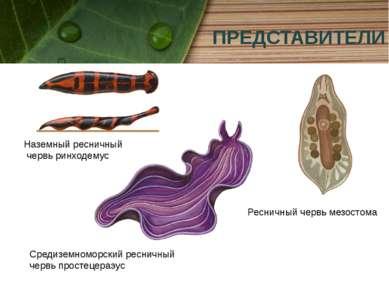 ПРЕДСТАВИТЕЛИ Наземный ресничный червь ринходемус Ресничный червь мезостома С...