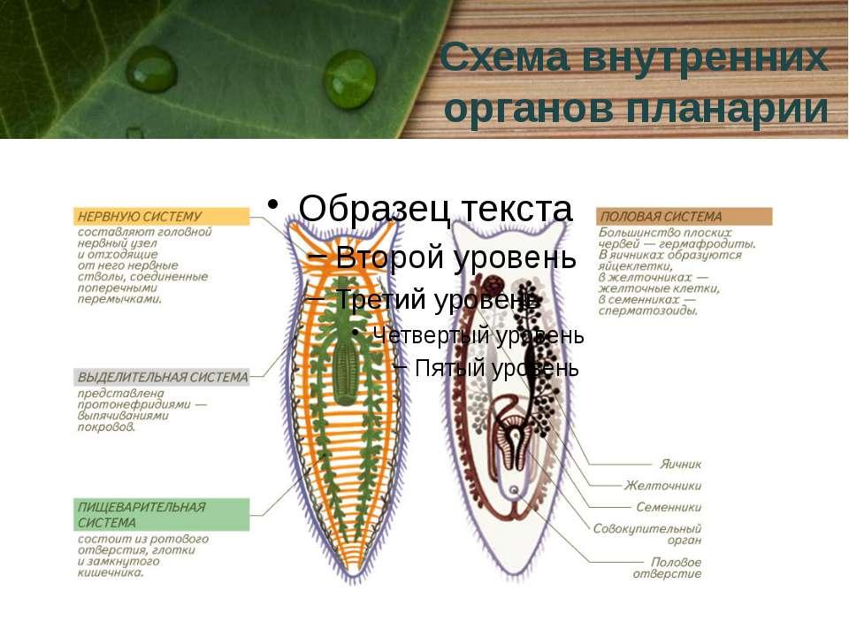 Схема внутренних органов планарии