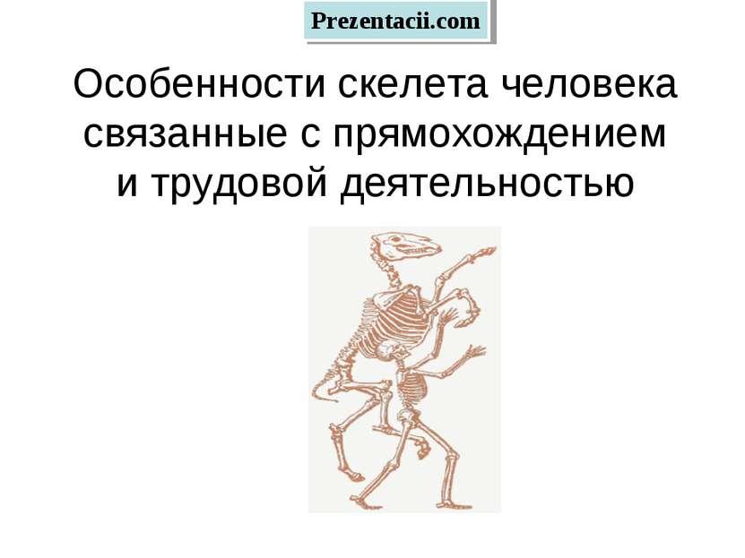 Особенности скелета человека связанные с прямохождением и трудовой деятельнос...
