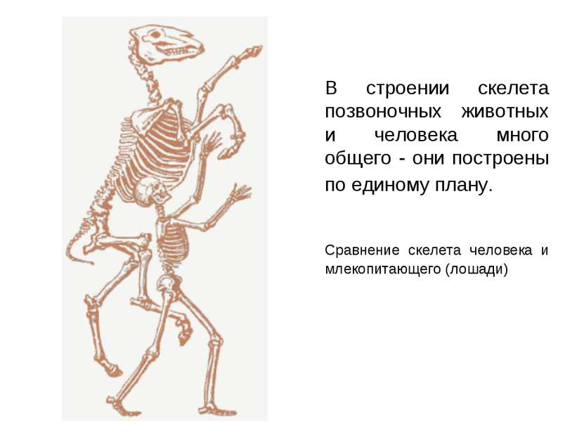 В строении скелета позвоночных животных и человека много общего - они построе...