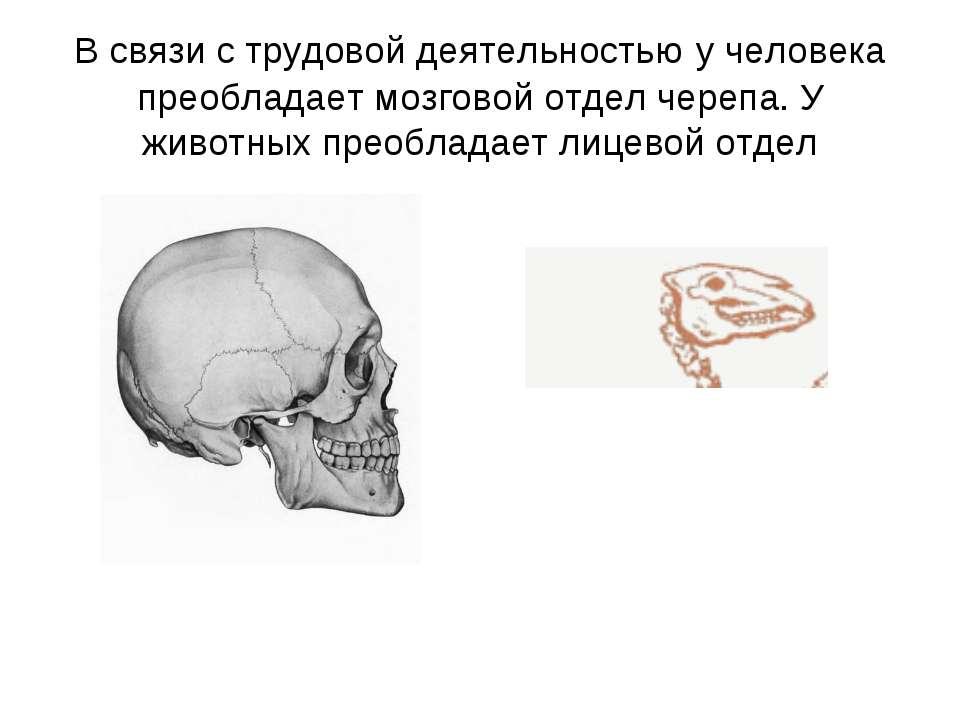 В связи с трудовой деятельностью у человека преобладает мозговой отдел черепа...