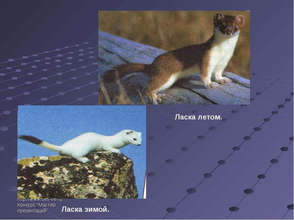 """http://www.deti-66.ru Конкурс """"Мастер презентаций"""" Ласка летом. Ласка зимой."""