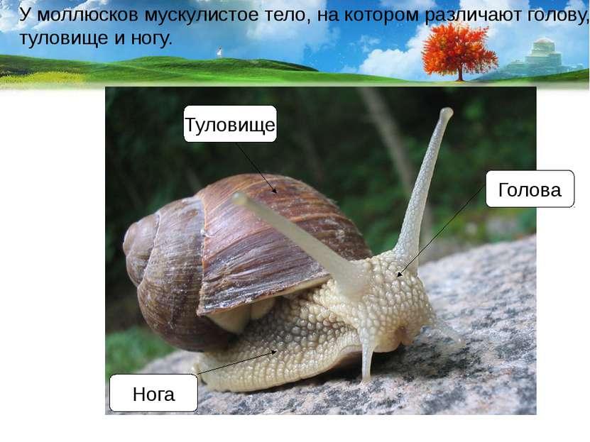 У моллюсков мускулистое тело, на котором различают голову, туловище и ногу. Г...